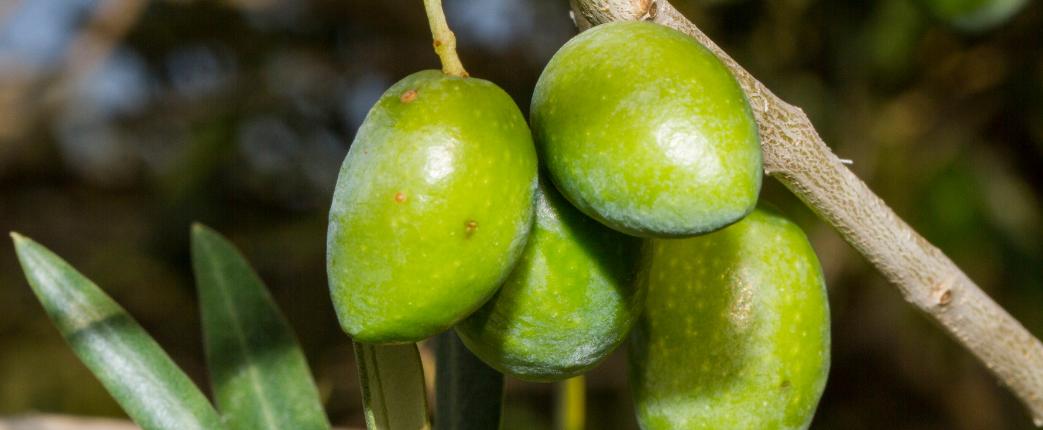 analisi olio di oliva