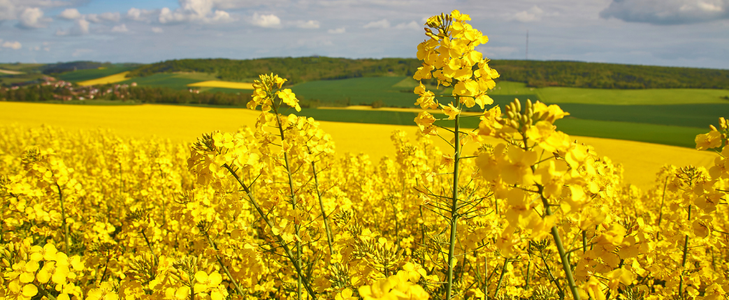 rapeseed protein